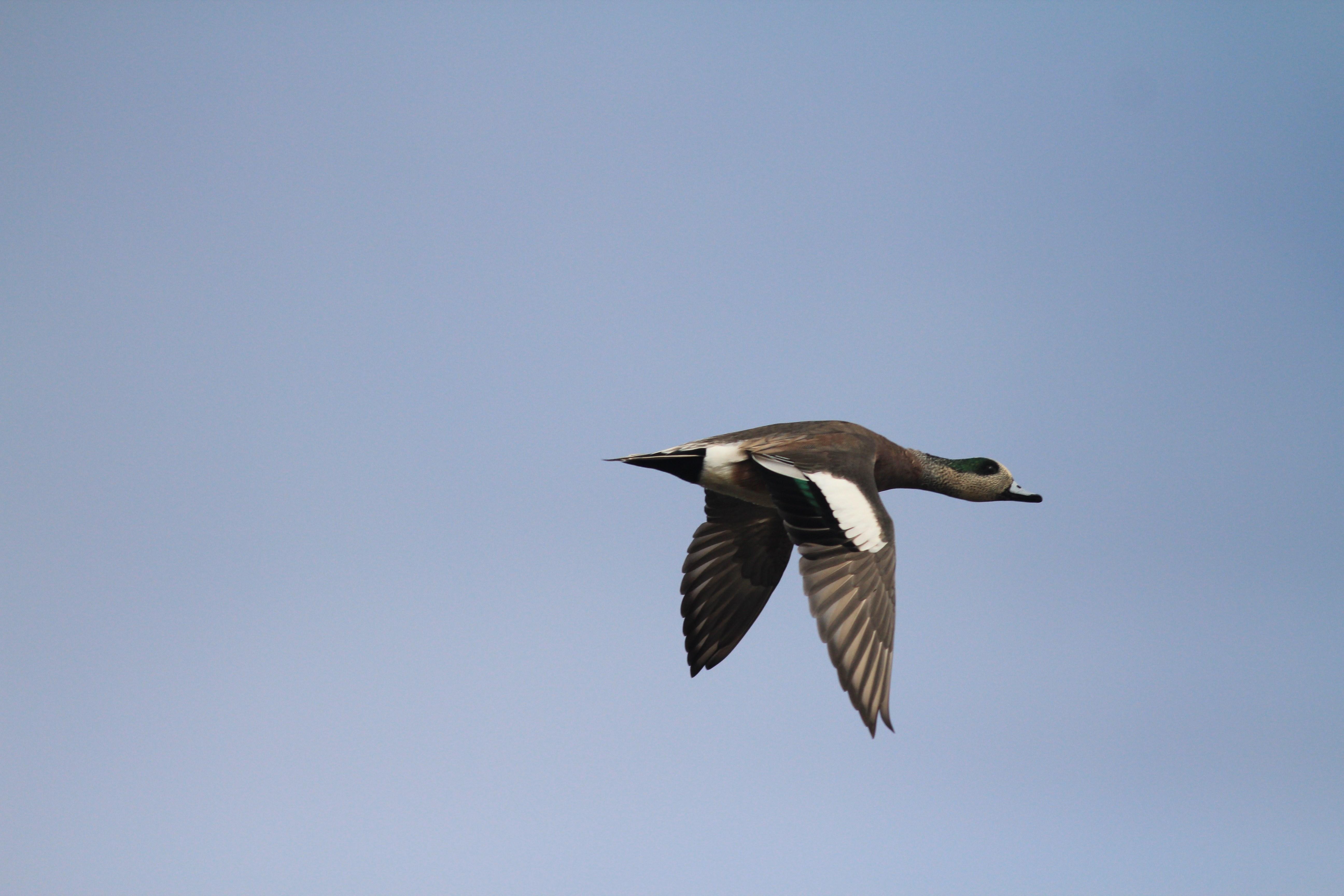 Wigeon duck flying