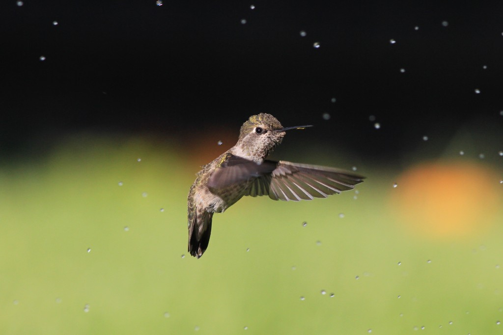 Anna's Hummingbird downstroke