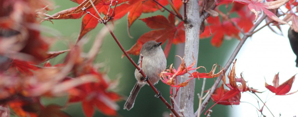 Bushtit in Japanese Maple