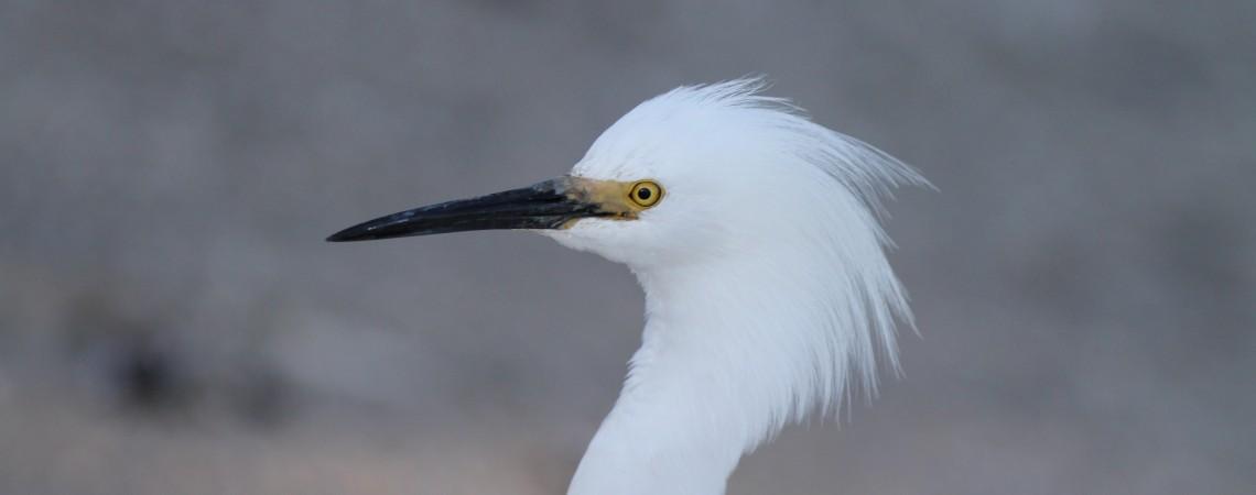 Snowy Egret Head